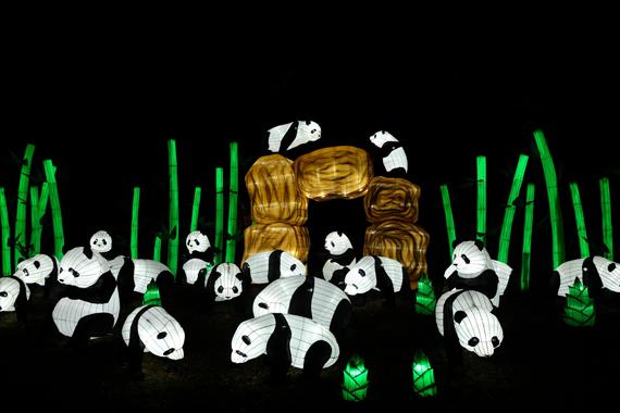 Twenty Pandas' graze on bamboo at a lantern light festival.